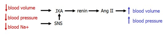 renin angiotensin system for dummies with Renin Angiotensin Aldosterone System on Watch as well Drugs Acting On Renin Angiotensin Aldosterone System in addition 2742 besides 4192419 as well Raas System.