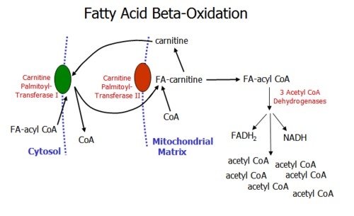 anabolic metabolism examples