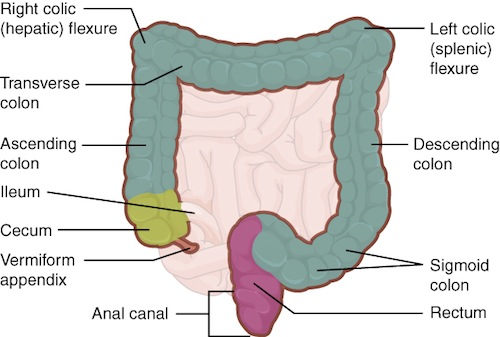 Large Intestine Connexions on Unlabeled Diagram Of Duodenum