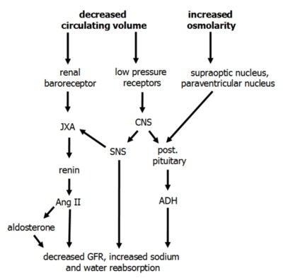the importance of antidiuretic hormone in 18032012 an overview of the role of antidiuretic hormone, also known as vasopressin, as an osmoregulator in the human body song: lux aeterna - clint mansell (from th.